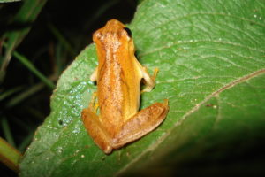 Dendropsophus-minutus-Peters-1872-1-e1569349595112.jpg