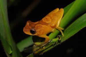 Dendropsophus-minutus-Reserva-Biológica-de-Guapiaçu-Cachoeira-do-Macacu-Rio-de-Janeiro-e1569349534222.jpg