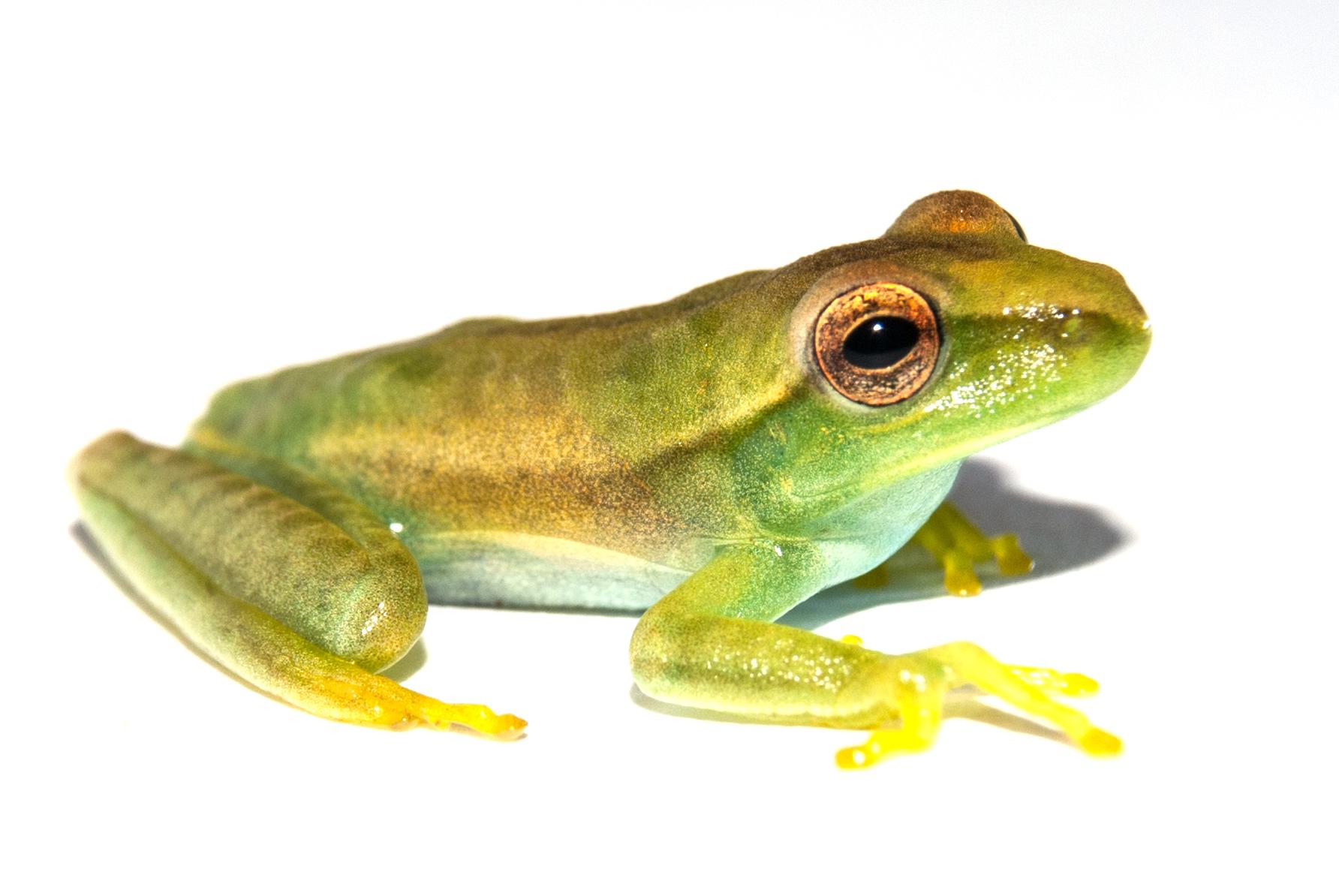 Hypsiboas albopunctatus