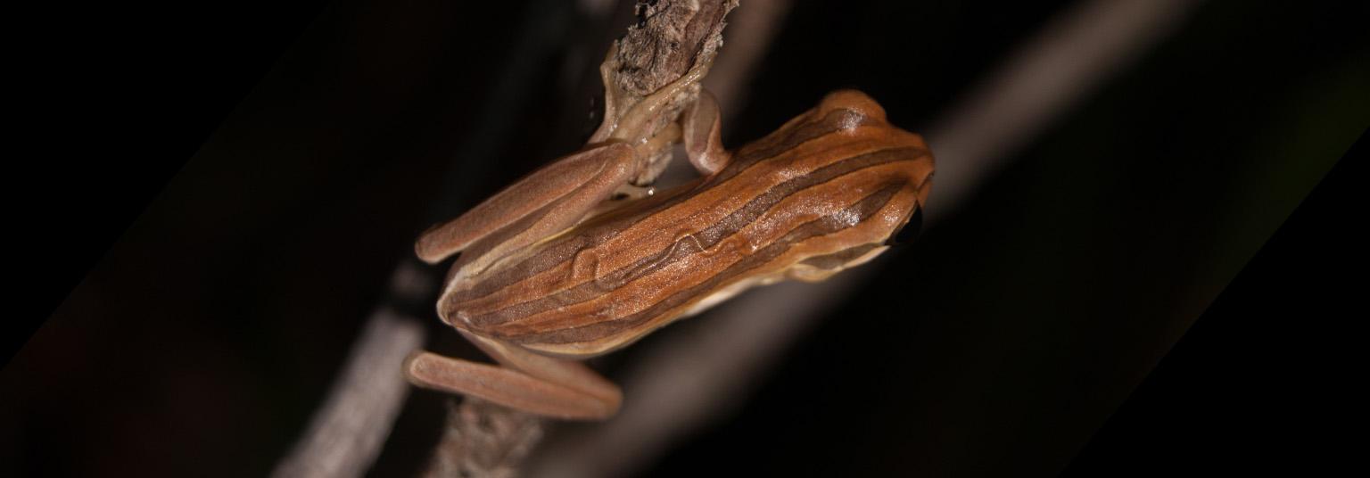 Boana cipoensis