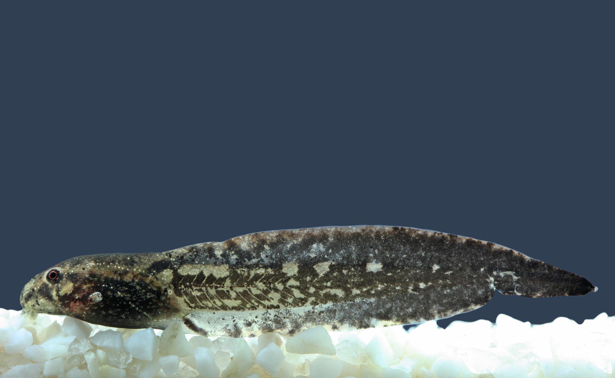 Aplastodiscus arildae